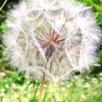 Image of dandelion seeds for breath